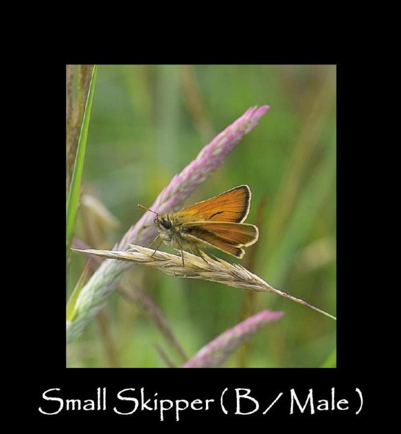 M Small Skipper ( B Male)