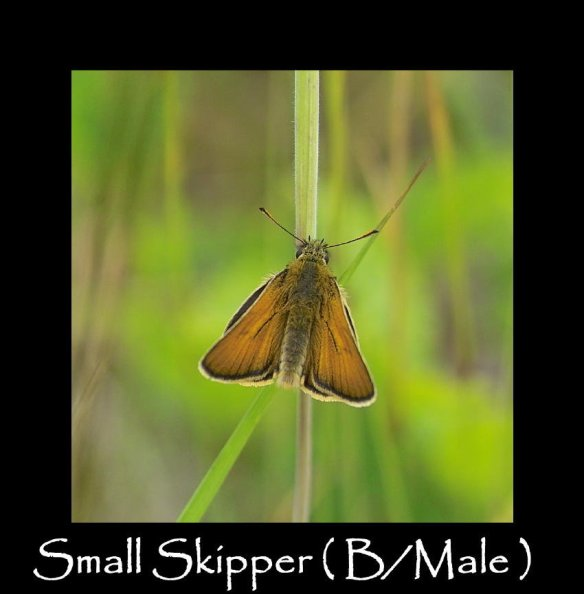 M Small Skipper ( B Male )