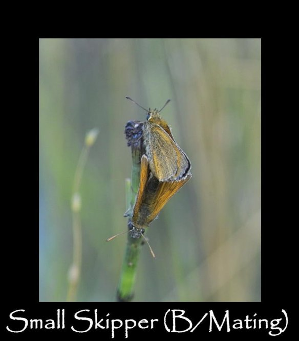 M Small Skipper (B Mating ) (2)