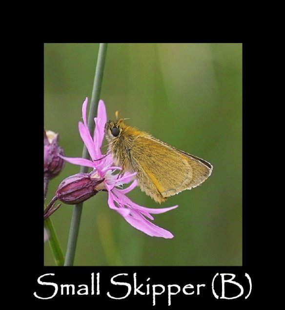 M Small Skipper (B)