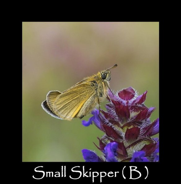 M Small Skipper ( B)