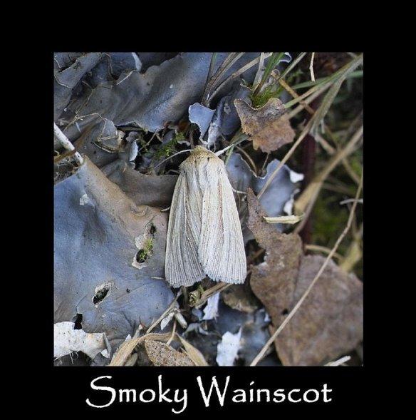 M Smoky Wainscot