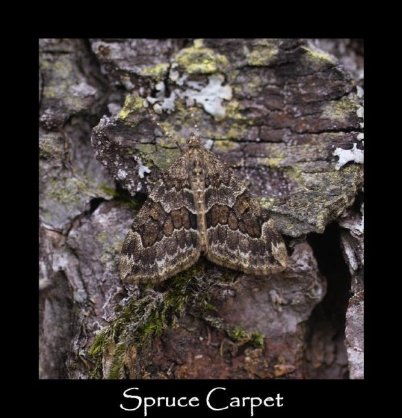M Spruce Carpet (2)