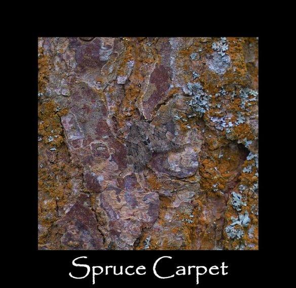 M Spruce Carpet