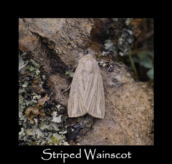 M Striped Wainscot