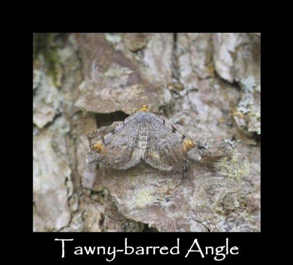 M Tawny-barred Angle