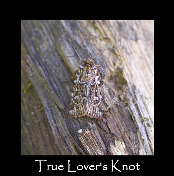 M True Lover's Knot (2)