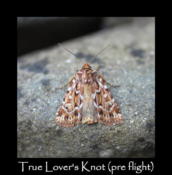 M True Lover's Knot (pre flight) (2)