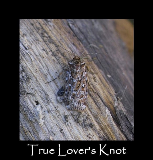 M True Lover's Knot