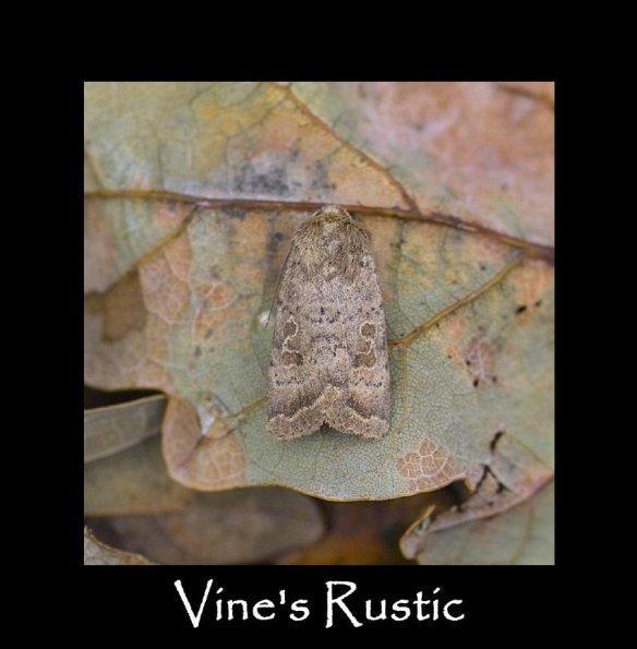 M Vine's Rustic (2)
