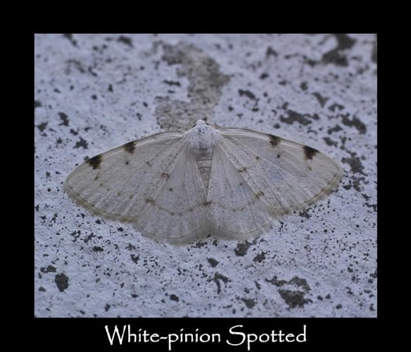 M White-pinion Spotted