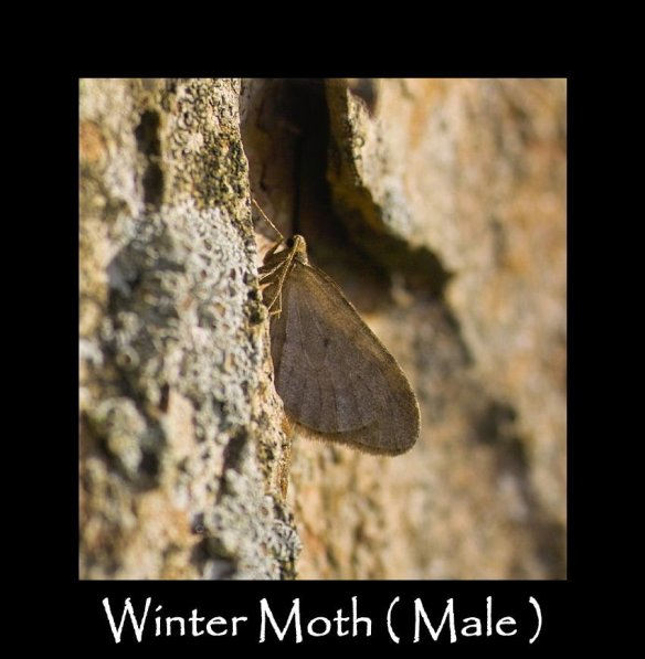 M Winter Moth ( male ) 2