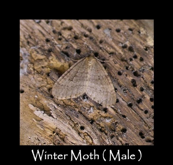 M Winter Moth ( Male )