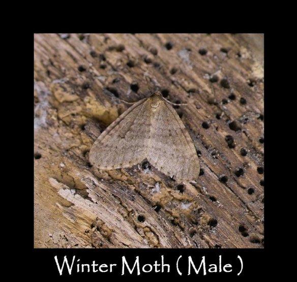 M Winter Moth ( Male )