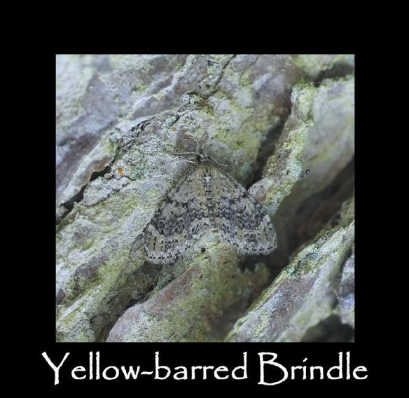 M Yellow-barred Brindle (2)