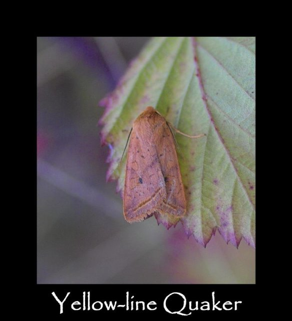 M Yellow-line Quaker 2