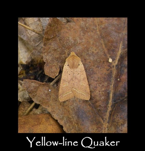 M Yellow-line Quaker