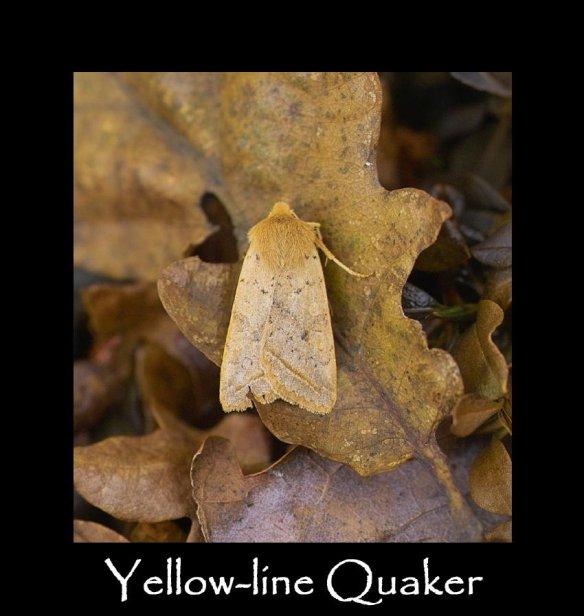 M Yellow-line Quaker