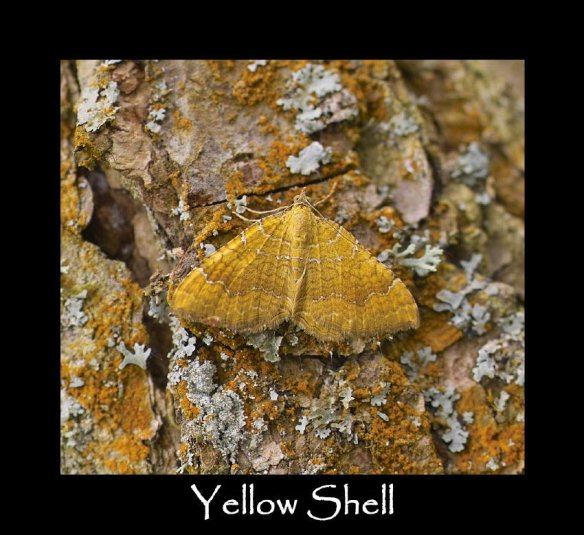 M Yellow Shell 2 (2)