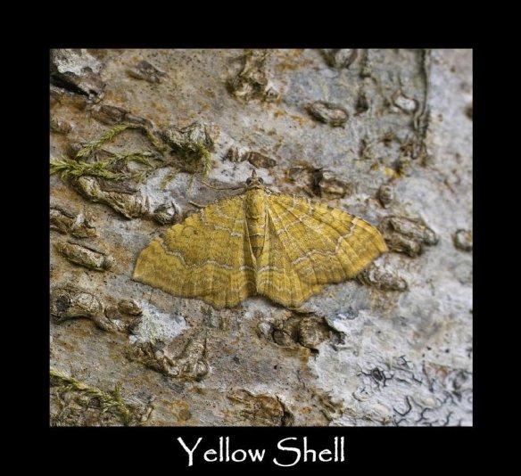 M Yellow Shell