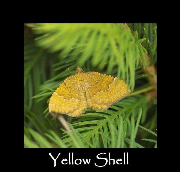 M Yellow Shell