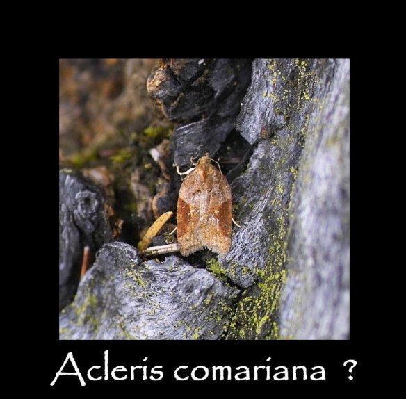 S Acleris comariana (2)