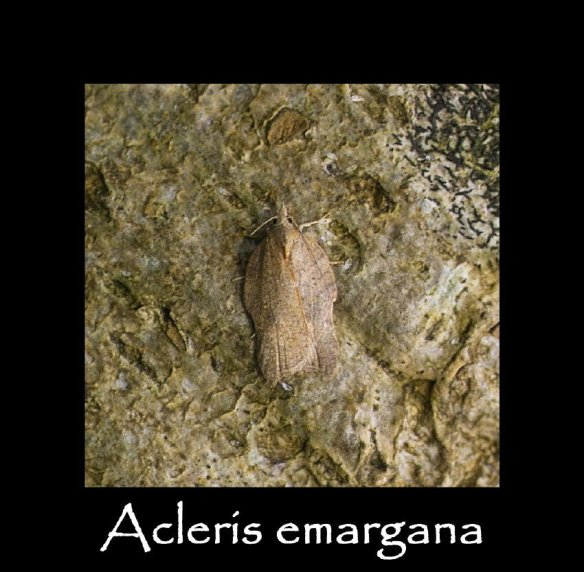 S Acleris emargana (2)