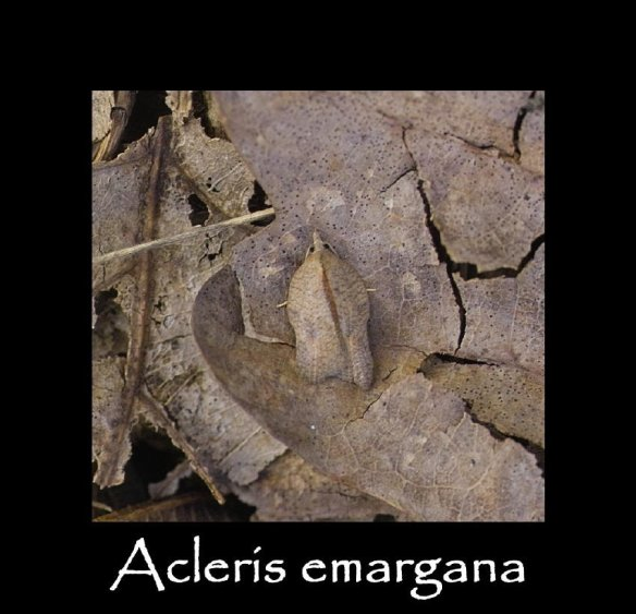 S Acleris emargana