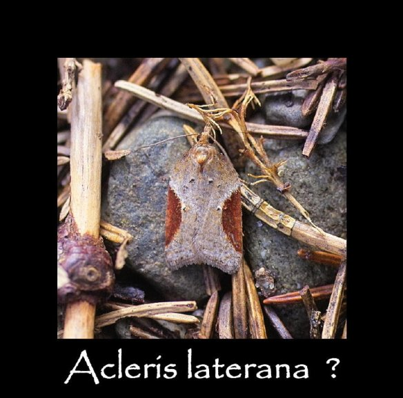 S Acleris laterana (2)