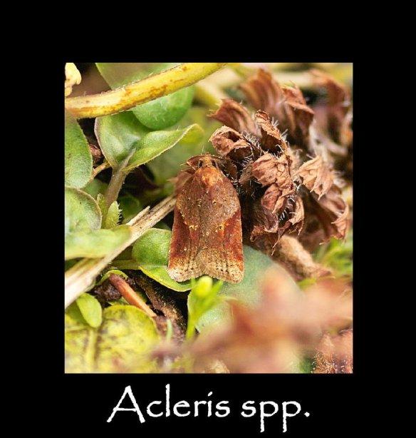 S Acleris spp (2)