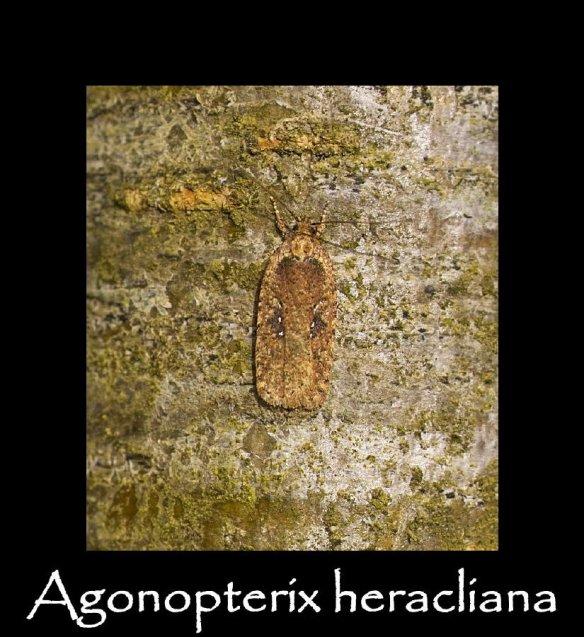S Agonopterix heracliana