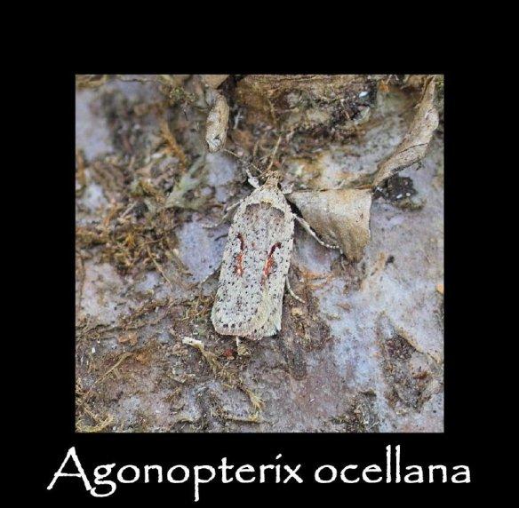 S Agonopterix ocellana (2)