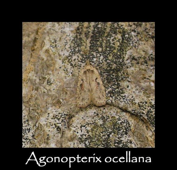 S Agonopterix ocellana