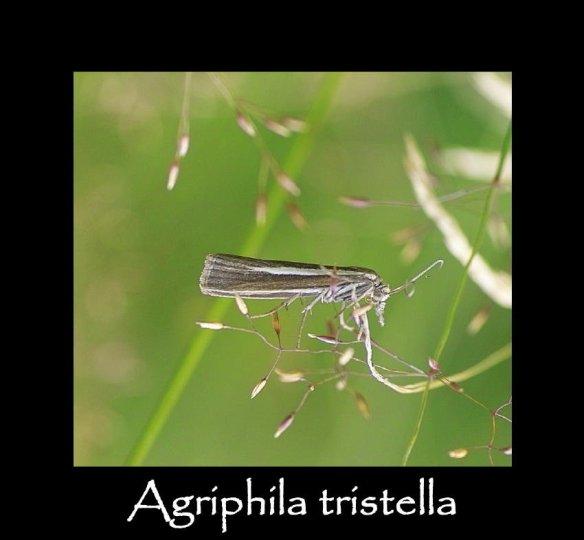 S Agriphila tristella (2)