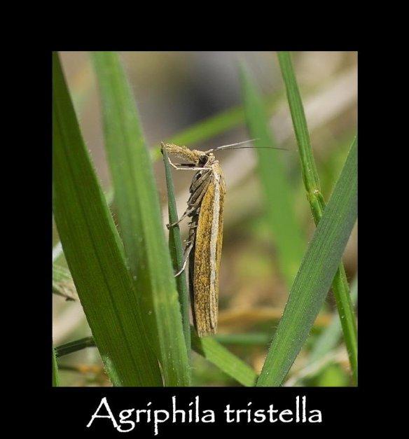 S Agriphila tristella