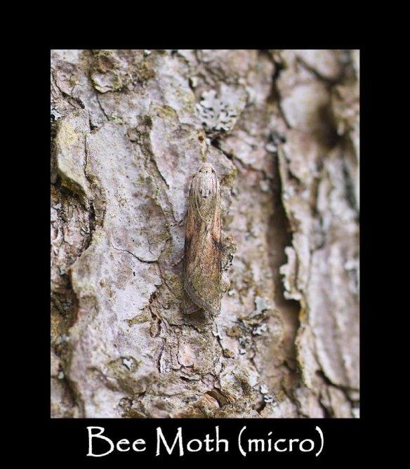 S Bee Moth (micro) 2