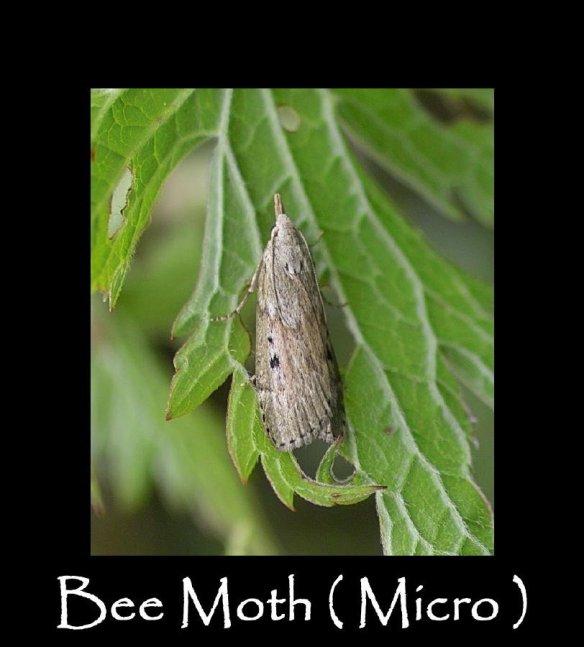 S Bee Moth (micro) (2)