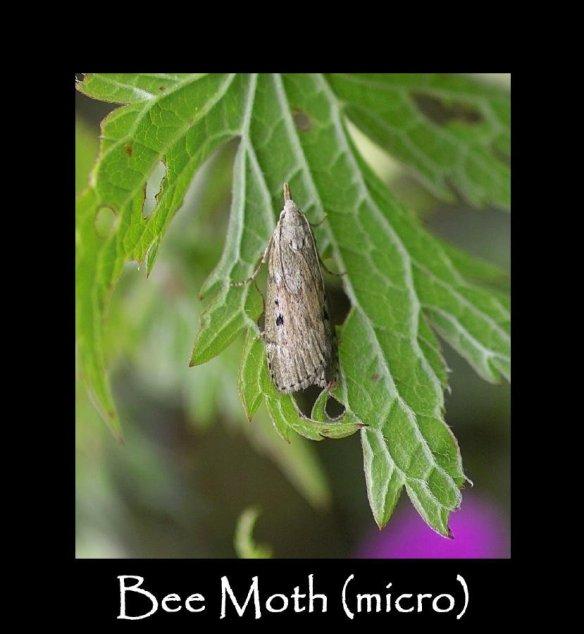 S Bee Moth (micro)