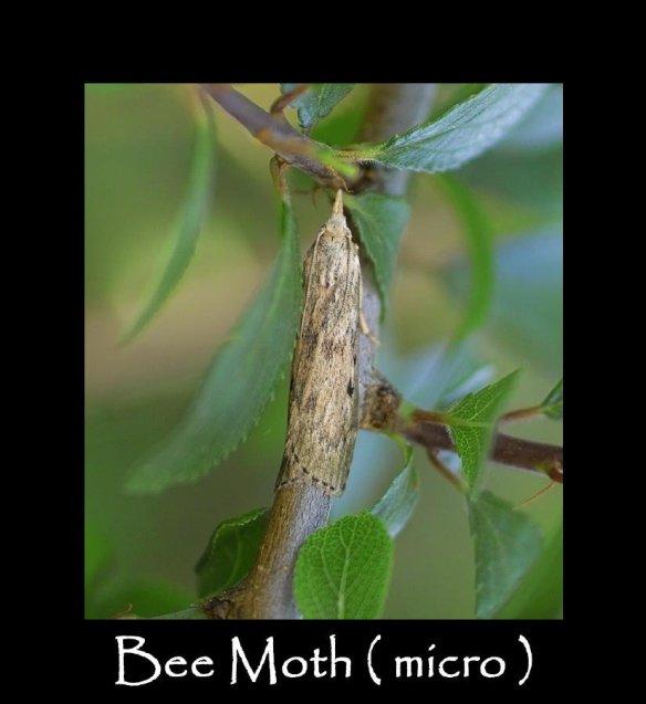 S Bee Moth ( micro )