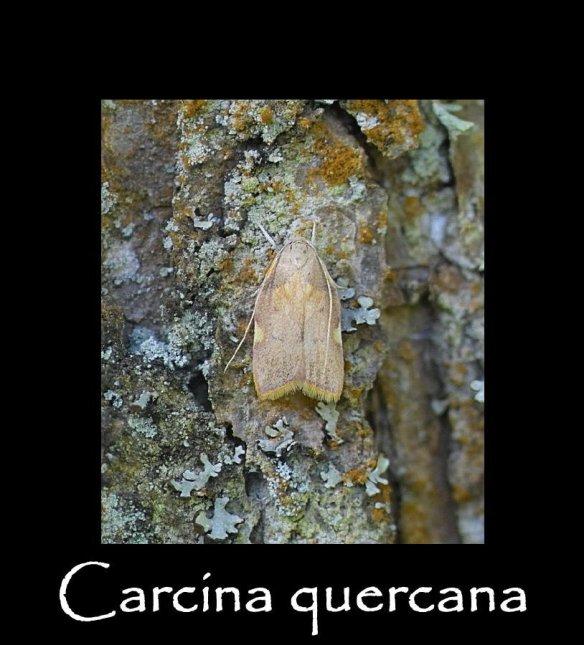 S Carcina quercana (2)