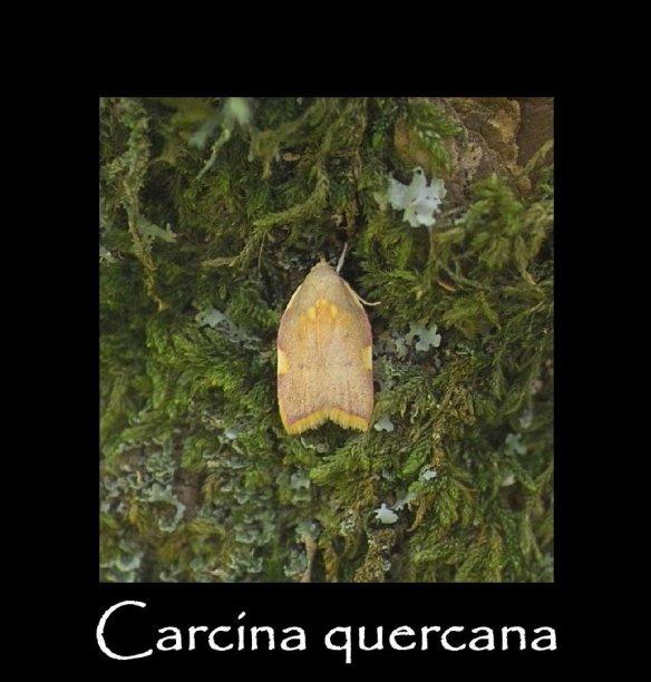 S Carcina quercana