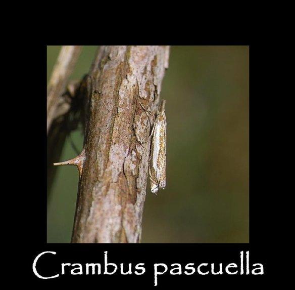 S Crambus pascuella