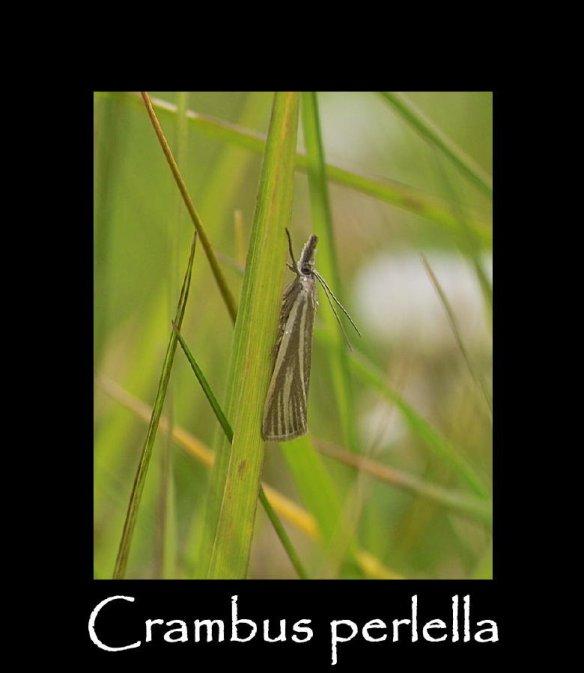 S Crambus perlella