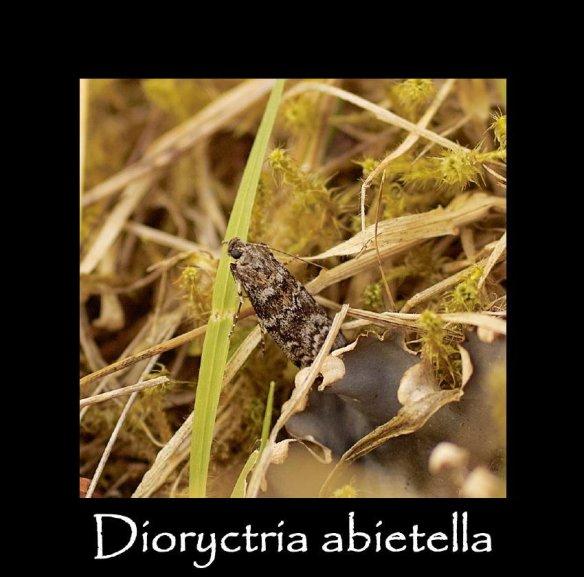 S Dioryctria abietella (2)