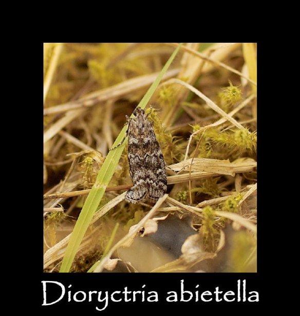 S Dioryctria abietella