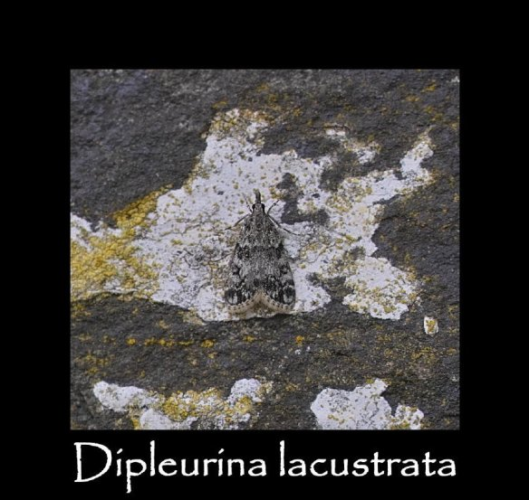 S Dipleurina lacustrata (2)
