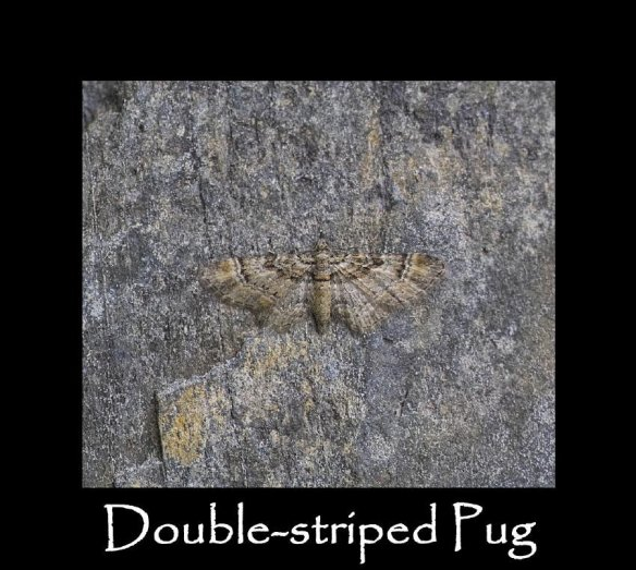 S Double-striped Pug (2)