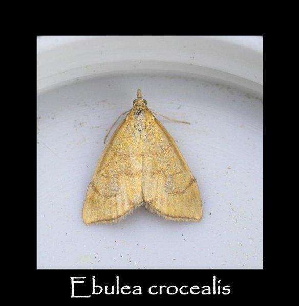 S Ebulea crocealis (2)