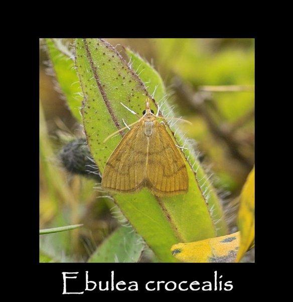 S Ebulea crocealis