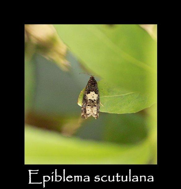 S Epiblema scutulana (2)